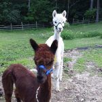 Haley & Zendra the Llamas