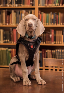 Riley the pest sniffing Weimaraner puppy sits looking at the viewer wearing a black Boston Museum of Fine Arts vest in front of a library bookshelf.